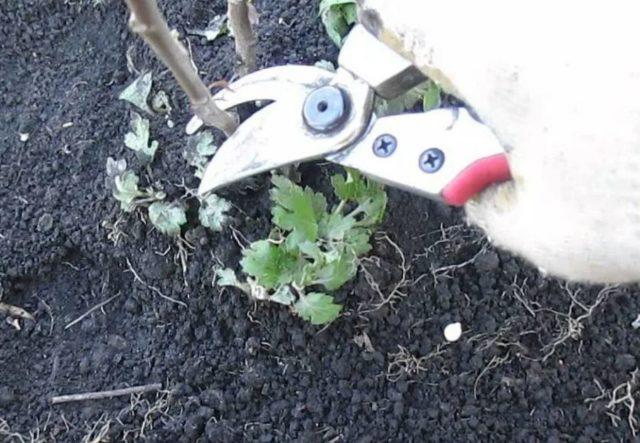 Обрезка хризантем на зиму: фото, видео для начинающих, отзывы
