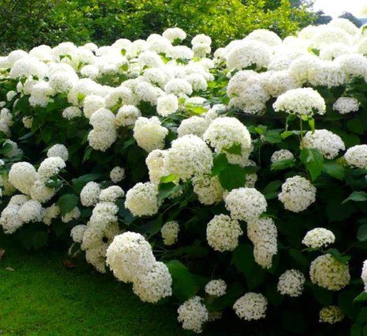 Подкормка садовой и домашней гортензии осенью