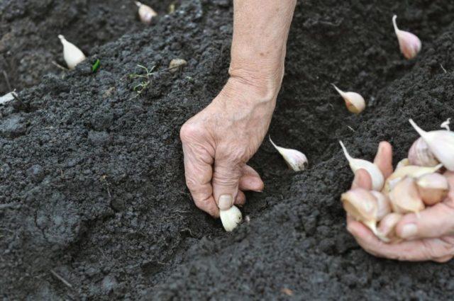 Посадка чеснока на зиму на Урале: когда нужно сажать, агротехника