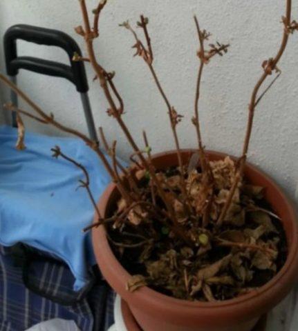Как сохранить саженцы гортензии в горшках дома до весны