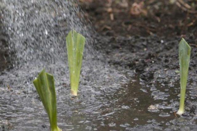 Когда и как правильно посадить ирисы в открытый грунт осенью