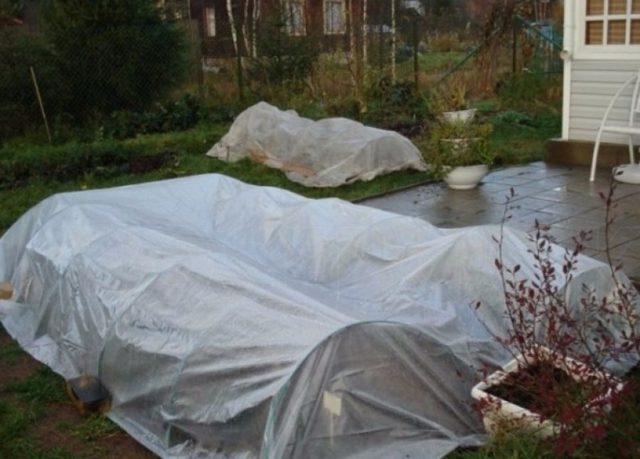 Как хранить хризантемы в домашних условиях, открытом грунте зимой