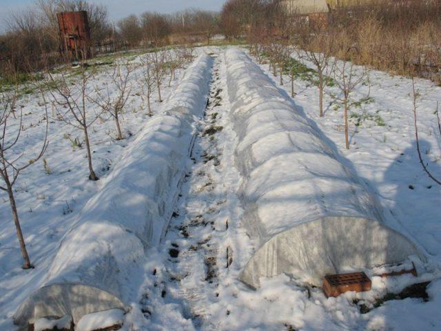 Уход и подготовка ирисов осенью к зиме