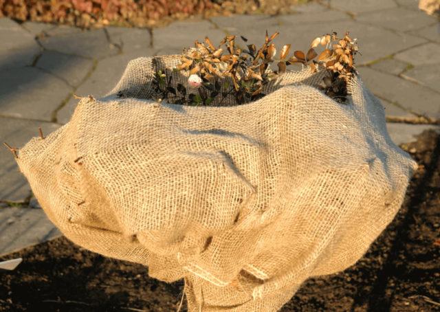 Как укрыть вьющиеся розы на зиму: лучшие способы + советы бывалых цветоводов