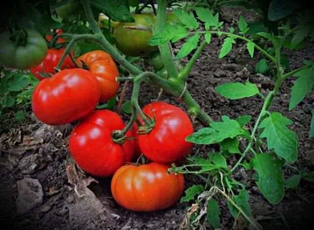 Некроз сердцевины стебля томата: меры борьбы, фото, лечение, причины