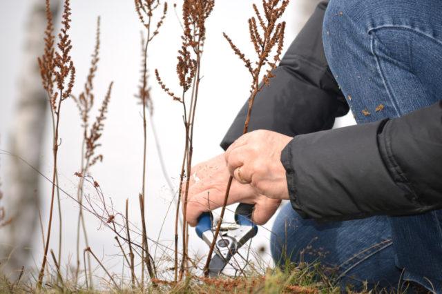 Астильба: надо ли обрезать осенью на зиму, сроки, фото, видео