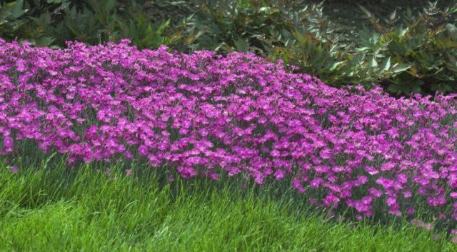 Гвоздика травянка многолетняя: сорта, посадка и уход, фото, отзывы