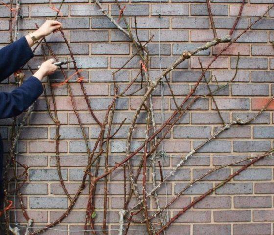 Уход и подготовка плетистой розы к зиме