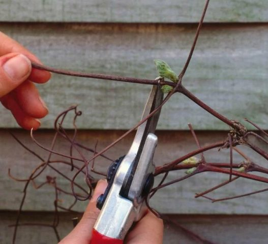 Когда и как правильно обрезать клематис осенью на зиму
