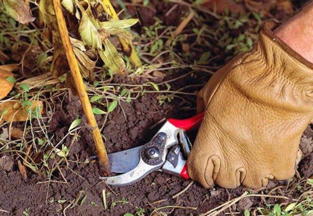 Подготовка и уход за пионами в открытом грунте осенью перед зимой