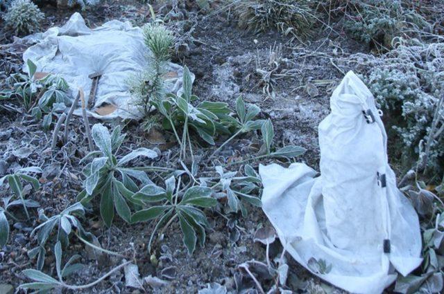 Когда и как правильно сажать пионы в открытый грунт осенью