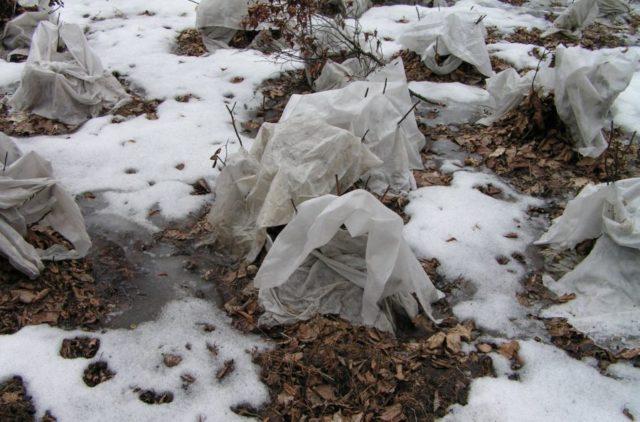 Как ухаживать за будлеей осенью: пересадка, обрезка на зиму, видео