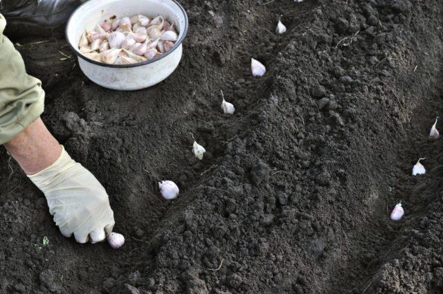 Посадка чеснока в зиму: в Подмосковье, Московской области, средней полосе