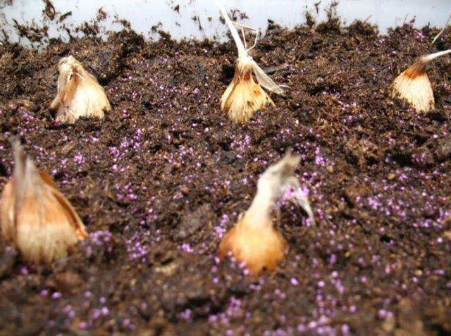 Фрезия махровая: посадка и уход в открытом грунте, фото, отзывы