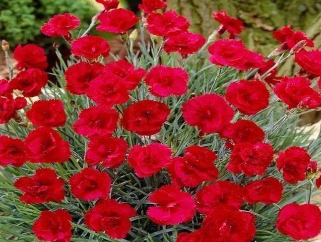 Садовая гвоздика: разновидности, сорта, названия и фото