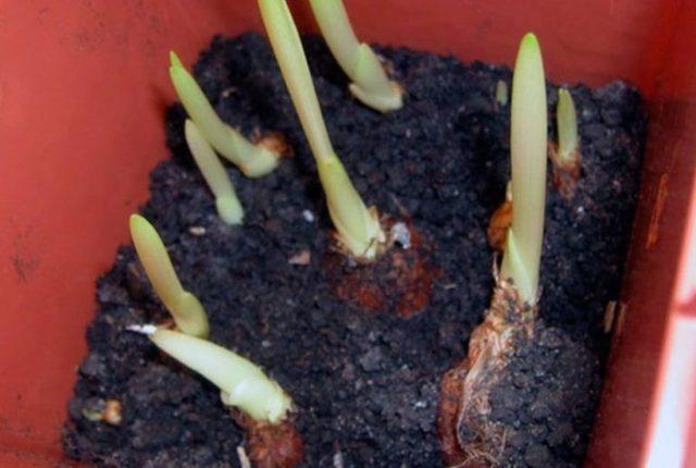 Посадка луковиц фрезии в открытый грунт весной