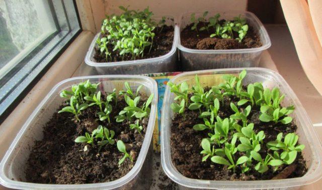 Выращивание турецкой гвоздики из семян в домашних условиях