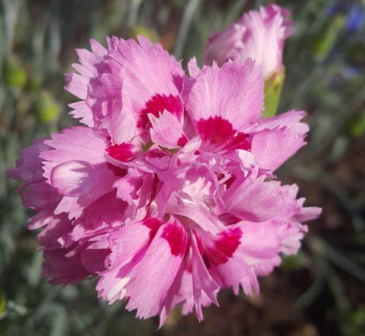 Посадка и уход за многолетней садовой перистой гвоздикой