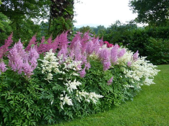 Астильба: когда сажать семена на рассаду, выращивание, фото цветов