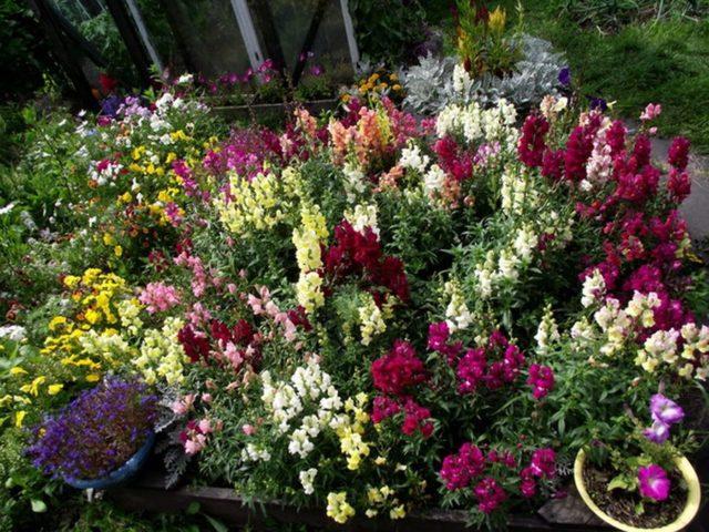 С чем можно сажать флоксы на участке, в саду